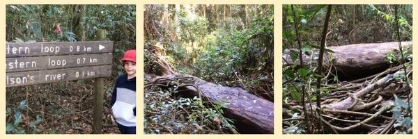 Booyong Rainforest Reserve - Fallen Trees